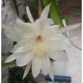 EPIPHYLLUM  PUMILUM (PLANT)